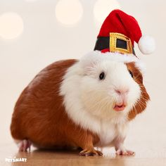 Ho ho ho! Guineas can get in the #pawlidays spirit with a Santa hat.