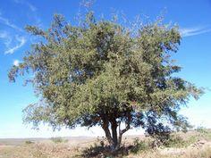 PUEBLA REVISTA: Árboles originarios: El Tala