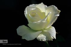 Peace by EsmatMorshedy. Please Like http://fb.me/go4photos and Follow @go4fotos Thank You. :-)
