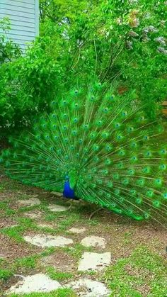 Most recent Photo peacock bird photography Popular : Peacocks usually are probably the most widely known wild birds on the globe, greatly assist attractive blue-green plumage in addition to discovered en. Peacock Images, Peacock Pictures, Bird Pictures, Animal Pictures, Pretty Birds, Beautiful Birds, Animals Beautiful, Cute Animals, Exotic Birds