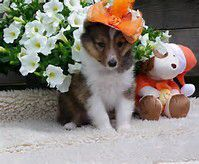 Cute Sheltie puppy