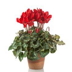 piante di ciclamini | Ciclamino - fiori e piante ornamentali