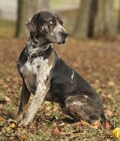 10 Cool Facts About Catahoula Leopard Dogs | PawNation - PawNation