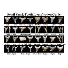 Dig for Prehistoric Fossil Shark Teeth + 1 Megalodon Megalodon, Shark Teeth Crafts, Save The Sharks, Shark Bait, Shark Shark, Baby Shark, Fossil Hunting, Marine Biology, Shark Week