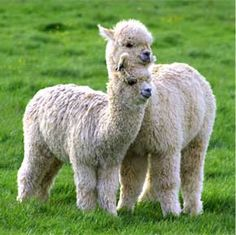 """About 95% of alpacas in UK, the same percentage as in the world, are huacayas, which are the best known, and are the fluffy alpacas.  Here are two adorable """"fluffy alpacas"""""""