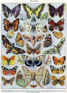 """Dessins d'Adolphe Millot pour la double-page """"papillons"""" du Larousse du XXe siècle (1931). Page 1. Avec l'aimable autorisation des Éditions Larousse."""