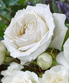 Rose White Symphonie-I love the ruffled edge on the petals Romantic Roses, Beautiful Roses, Beautiful Flowers, Beautiful Things, White Roses, White Flowers, Red Roses, Rose Foto, Ronsard Rose