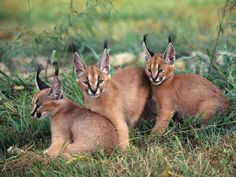 People keep pinning this animal calling it a Lynx, or a Caracal Lynx and it is NOT. Description from pinterest.com. I searched for this on bing.com/images