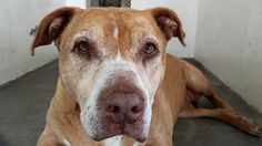 "On April 4, a ten-year-old pit bull named ""Elvira,"" was surrendered to the Carson Animal Control facility in Gardena, California. Though photos of the elderly dog may suggest that Elvira has not been impacted by the sudden change in her life, a video reveals the truth. Elvira is not stoic - she is terrified. The senior dog is literally quaking from head to tow - terrified by her new surroundings, and confused because her home and owner are nowhere to be found."