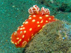 This stylish little nudibranch is (Gymnodoris aurita) and it definitely rocks the fire engine red with the yellow polka-dots.