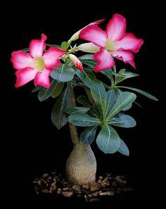 rosas del desierto.