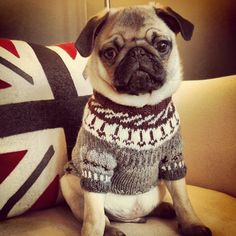 Pug in a sweater.