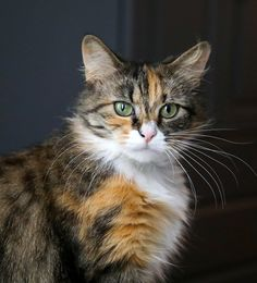 Jewel: GORGEOUS, Fluffy Calico is an adoptable calico searching for a forever family near Brooklyn, NY. Use Petfinder to find adoptable pets in your area.