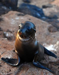 Sea Lion  Galapagos Islands-35 (by Tristan27) http://www.amberstravel.com