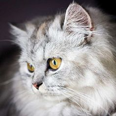 Discover the important thing you need to know before you buy persian cat online. These considerations will help you buy a cat without disappointed. Animal Gato, Cat Online, Photo Animaliere, F2 Savannah Cat, Fluffy Cat, Cat Face, Beautiful Cats, Animals Beautiful, Cats And Kittens