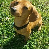 Pin By Triple R On Weenie Dogs Dachshund Adoption Weenie Dogs