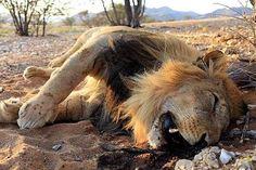 Mi pequeño rincón: La trágica muerte de Terrance, el león que cruzó un desierto
