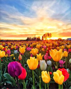 Rise and Shine on this beautiful Sunrise 🌅- Wooden Shoe Tulip 🌷 Festival by Love Flowers, Beautiful Flowers, Tulip Festival, Tulip Fields, Beautiful Sunrise, Belleza Natural, Amazing Nature, Wonderful Places, Beautiful Landscapes