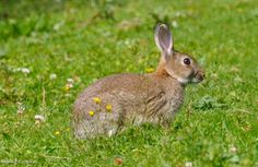 Rabbit on Lanteglos golf course near Camelford, Cornwall