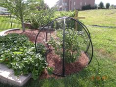 How To Keep Birds Away From Your Blueberry Plants. This Is Perfect... We  Lost Them All Last Year To The Birds.