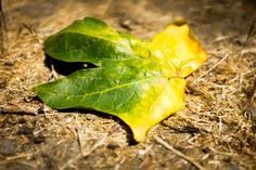 Leaf from Alum Rock Park, US.
