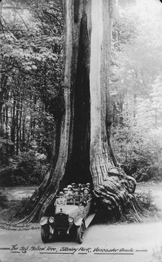 Hollow Tree 1923 Stanley Park photo gallery   City of Vancouver