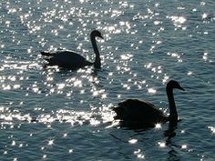 Cisne, Cisnes, Animales, La Fauna