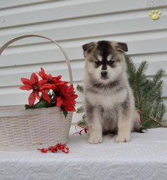26 Best Puppy Love images in 2015 | Cute puppies, Cute Dogs, Fluffy