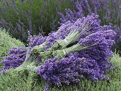 Használd a levendulát a háztartásban te is, elmondom, hogyan Lavender Fields, Lavender Garden, Flowers, Best Flowers Images, Lavender Farm, Plants, Growing Tree, Lavender Plant, Flower Images