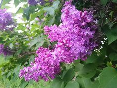LILIAC  MOV Lilacs, Aesthetics, Nature, Plants, Naturaleza, Lilac, Syringa Vulgaris, Plant, Nature Illustration