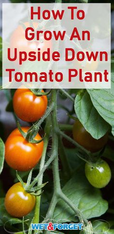 Grow tomatoes upside down with this nifty planter idea!