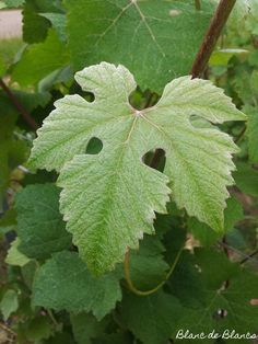 10 days until Christmas. The leafs of Pinot Meunier make me think of summer, mmm. Christmas Calendar, Days Until Christmas, 10 Days, White Christmas, Plant Leaves, Champagne, Wine, Summer, Beautiful