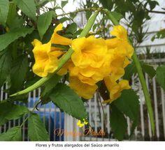 El Saúco Amarillo - Tecoma Stans-  es un arbusto que llama la atención por sus vistosas flores amarillas. En República Dominicana florece durante todo el año.