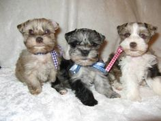 schnauzer Dogs & puppies For Sale in Houston  eBay Classifieds ...