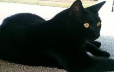 Pix For > Long Haired Black Cat With Green Eyes