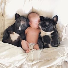 French Bulldogs protecting a Newborn Baby.