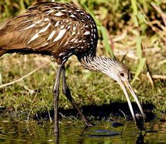Limpkin- In the United States, limpkins are found in southern Georgia and Florida in the shallows along rivers, streams and lakes, and in marshes, swamps and sloughs.