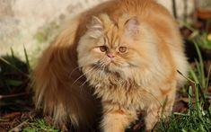 Télécharger fonds d'écran Chat persan, le gingembre moelleux chat, animaux de compagnie, le chat domestique, de race de chats moelleux