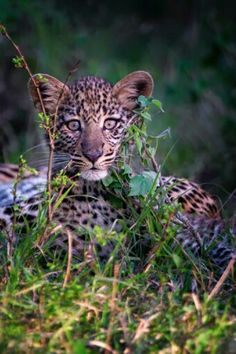 A curious but cautious leopard cub in the Mara North Conservancy in Kenya