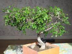 https://www.giardinaggio.net/bonsai/piante-bonsai/bonsai-zelkova-_O1.jpg
