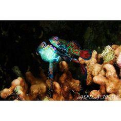 【daisuke_yata】さんのInstagramをピンしています。 《ニシキテグリ産卵  #macro #underwater #nature #photo #dive #scuba #diving #ocean #sea #beach #smile #cute #love #beautiful #DIVERMAG #海 #写真 #水中 #ダイビング #可愛い #綺麗 #美しい #癒し #マクロ #ニシキテグリ #産卵  http://aquatimeds.wixsite.com/home/》