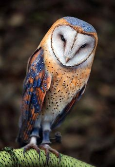 Chouette effraie (tyto Alba) Heart-Shaped Face Barn Owl, I have never seen barn owls with these colors! They are simply beautiful. Exotic Birds, Colorful Birds, Exotic Animals, Unusual Animals, Colorful Animals, Colorful Feathers, Beautiful Owl, Animals Beautiful, Simply Beautiful