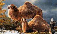 Científicos descubren que el ancestro del camello vivía en el Ártico ..   El descubrimiento de los fósiles de un gran camello de 3.5 millones de años revelaron que la especie antiguamente vivía en los bosques del norte de Canadá. .. . 5 Mar 2013. (http://IPITIMES.COM ® /New York. FUENTE: LA TERCERA).