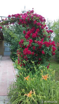 В этом году я для своей плетистой розы соорудила каркас и куст в благодарность расцвел необычайно красиво. Посмотрите на фото - получите удовольствие...