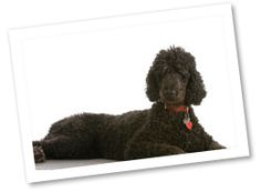 Originating in Germany, these dogs were used as water retrievers. They were later used in France as a companion and circus dog. Standard Poodles are very intelligent and easy to train, obedient, and playful.