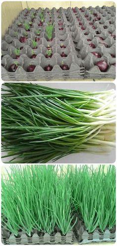 Uma maneira diferente de cultivar cebolas - Pra Quem Tem Estilo