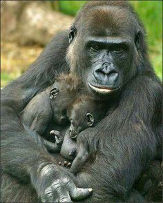 Mother gorilla with twin babies ♡ ~DOUBLY BLESSED!