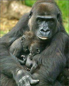 Gorilas, madre con su crías ♡