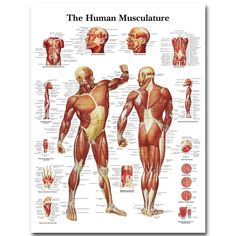 This colourful anatomical chart illustrates the human muscular system in full detail. Every part of the human body's muscular system is labelled in this detailed anatomy poster.This thickly laminated anatomical chart is printed on premium glossy ( Anatomy Study, Anatomy Drawing, Anatomy Reference, Muscle Anatomy, Body Anatomy, Proportions Du Corps, Human Anatomy Chart, Human Muscular System, Systems Art
