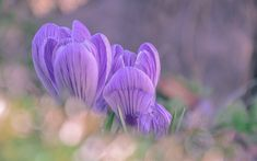 Download wallpapers crocuses, wildflowers, purple flowers, grass, morning